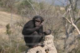 Chimp_03.jpg