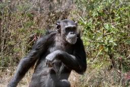 Chimp_08.jpg