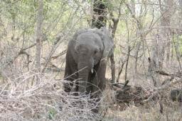 Elephants_Hlane_11.jpg
