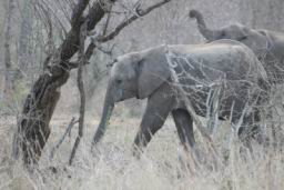 Elephants_Hlane_12.jpg