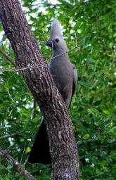 Fowl_Grey_Go-away-bird.jpg