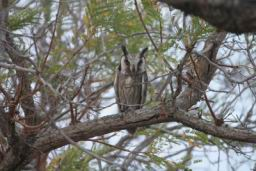 Scops_Owl.jpg