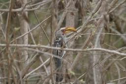 Southern_yellow_billed_hornbill.jpg