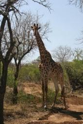 Giraffe_02.jpg