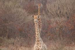 Giraffe_05.jpg