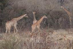 Giraffe_06.jpg