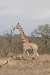 Giraffe_09.jpg
