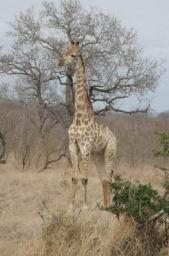 Giraffe_10.jpg