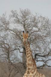 Giraffe_11.jpg