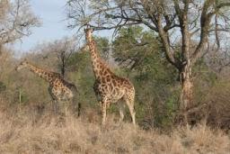 Giraffe_13.jpg
