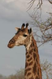 Giraffe_15.jpg