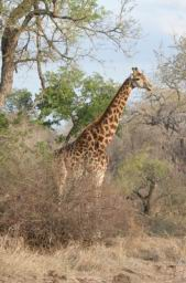 Giraffe_16.jpg