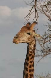 Giraffe_17.jpg
