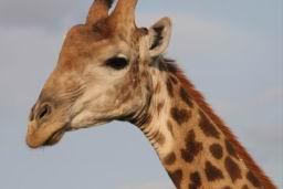 Giraffe_19.jpg