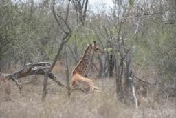 Giraffe_Hlane_01.jpg