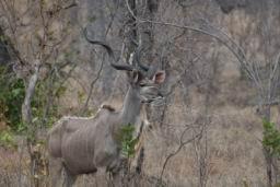 Kudu_01.jpg