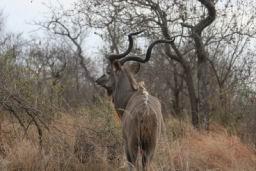 Kudu_03.jpg