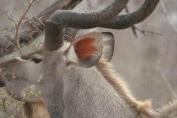 Kudu_06.jpg
