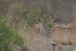 Kudu_07.jpg