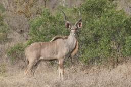 Kudu_10.jpg