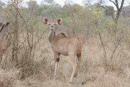 Kudu_11.jpg