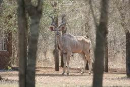 Kudu_Hlane_1.jpg