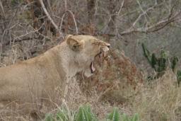 Lions_03.jpg