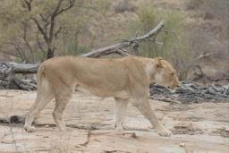 Lions_05.jpg