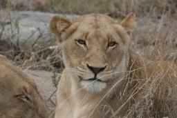Lions_06.jpg