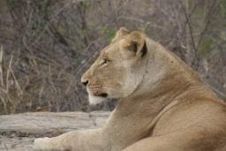 Lions_08.jpg