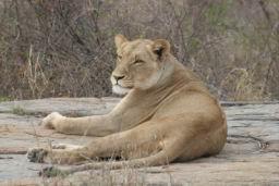 Lions_10.jpg