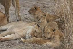 Lions_11.jpg