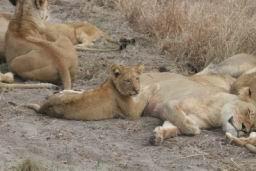 Lions_12.jpg
