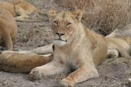 Lions_13.jpg