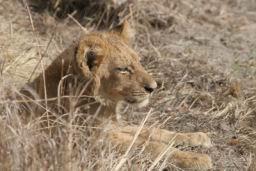 Lions_14.jpg