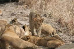Lions_16.jpg