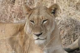Lions_17.jpg