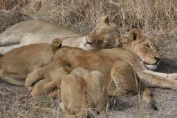 Lions_18.jpg