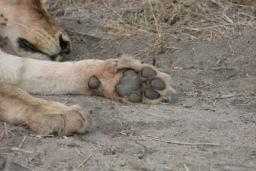 Lions_19.jpg