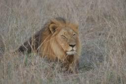 Lions_Hlane02.jpg