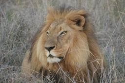Lions_Hlane03.jpg