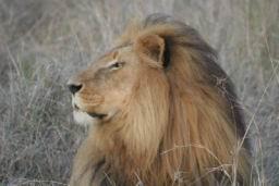 Lions_Hlane04.jpg