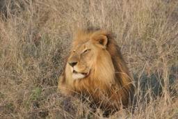 Lions_Hlane05.jpg