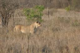 Lions_Hlane10.jpg