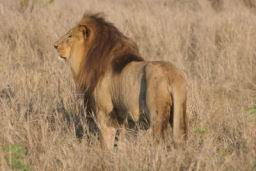 Lions_Hlane11.jpg