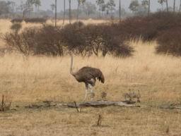 Ostrich_06.jpg