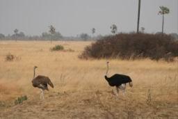 Ostrich_07.jpg