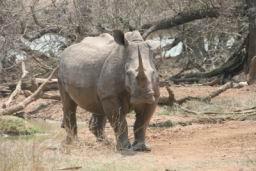 Rhino_Hlane_04.jpg