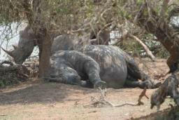 Rhino_Hlane_06.jpg