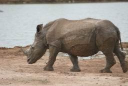 Rhino_Hlane_12.jpg